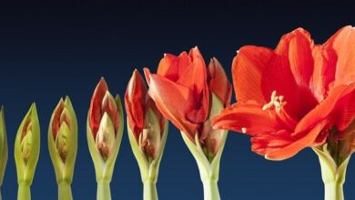 Photo of Farfalla Amaryllis