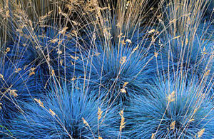 Photo of Festuca glauca Festuca blu, Festuca glauca