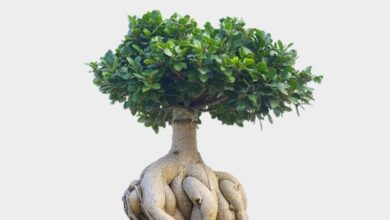 Photo of Ficus Ginseng, Ficus bonsai