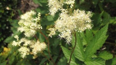 Photo of Filipendula ulmaria Meadow Queen, Ulmaire
