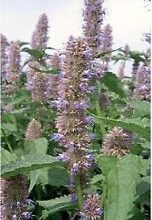 Photo of Finocchio agastache, issopo grande, issopo all'anice