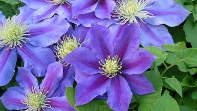 Photo of Fiore piccolo Clematis