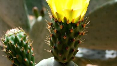 Photo of Fiore rosso sotterraneo Opuntia