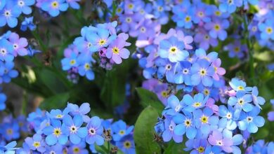 Photo of Forget-me-non-me