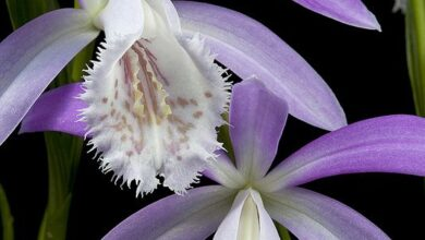 Photo of Formosa Orchidea, Pleione
