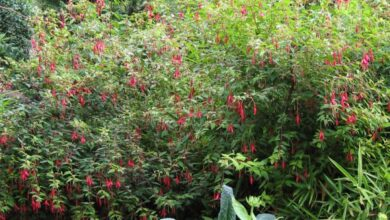 Photo of Fuchsia de Magellanica, Fuschia rustique