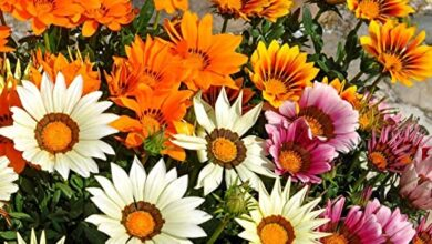 Photo of Gazania
