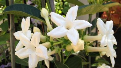 Photo of Gelsomino del Madagascar, Stephanotis