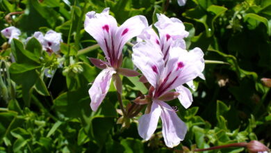 Photo of Géranium (Pelargonium Peltatum L.)