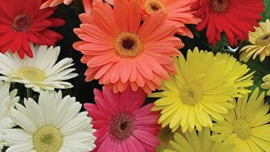 Photo of Gerbera