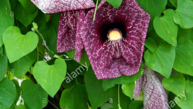 Photo of Gigante Aristolochia Gigante Aristolochia