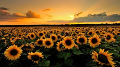 Photo of Girasole, Sole
