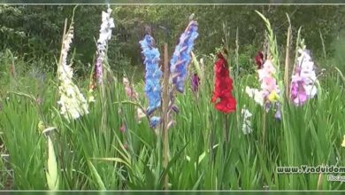 Photo of Gladiola italien, Gladiola de cosecha