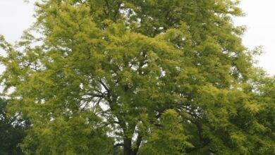 Photo of Gleditsia triacanthos f. inermis 'Sunburst' Golden American honey locust, Golden thornless honey locust