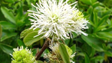 Photo of Grande fothergilla