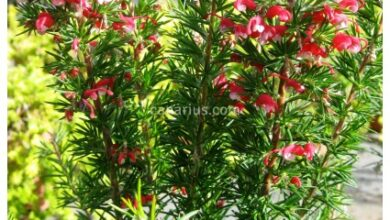 Photo of Grevillea Clearview David ou Grevillea Plant Care