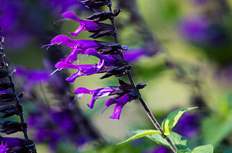 Photo of guarani sage