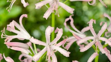 Photo of Guernsey Lily, Nerine