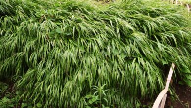 Photo of Hakonechloa macra Japan Grass, erba Hakone