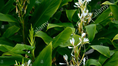 Photo of Hedychium coronarium Ginger Butterfly, Farfalla, Farfalla, Zenzero bianco