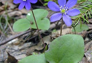 Photo of Hepatica nobilis Anemone del fegato