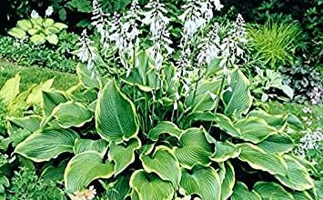 Photo of Hosta Funkia