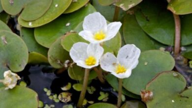 Photo of Hydrocharis morsus ranae, pianta acquatica a fiore piccolo
