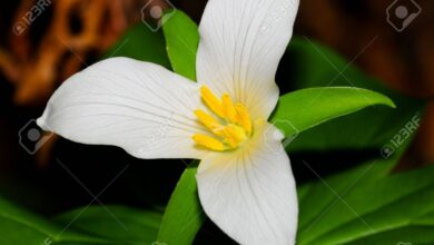 Photo of Ibrido di trillium