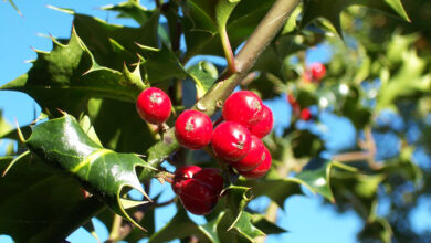 Photo of Ilex Holly