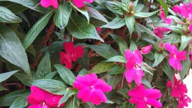 Photo of Impatiens SunPatiens® (in inglese)