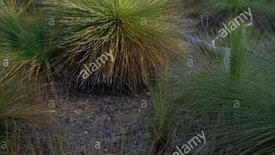 Photo of Intrattenimento dalla Xanthorrhoea glauca o dalla pianta dell'erba dell'albero