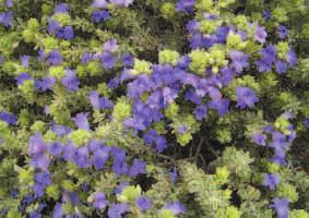 Photo of Intrattenimento della pianta Brachyscome multifida o Vitadinia blu