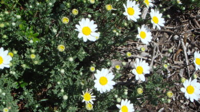 Photo of Isole Canarie Anthemis, Isole Canarie Margherita