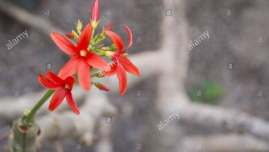 Photo of Jatropha in fiore, Jatropha piccante, Astore del Nord
