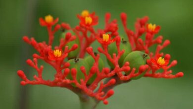 Photo of Jatropha podagrica produce bellissimi fiori rossi
