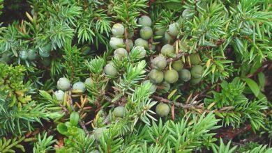 Photo of Juniperus communis Ginepro comune, ginepro