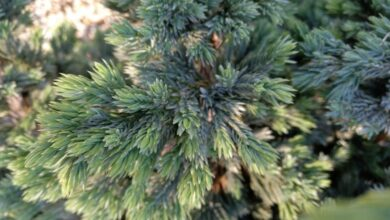 Photo of Juniperus squamata Enebro escamoso