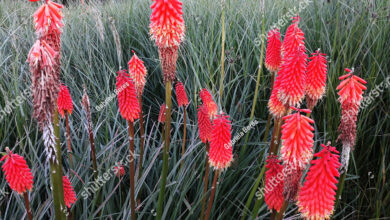 Photo of Kniphofia, Rocket Flower o Tritoma