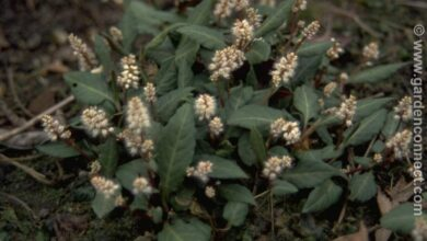 Photo of Knotweed, Persicaria tenuicaulis, Persicaria