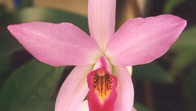 Photo of Laelia