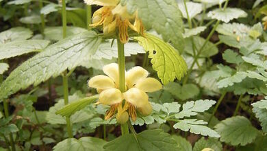Photo of Lamium galeobdolon Ortica gialla, Lamium galeobdolon
