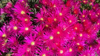 Photo of Lampranthus spectabilis, una pianta con fiori simili a margherite
