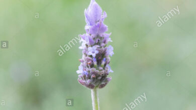 Photo of Lavanda dentata, lavanda con frange