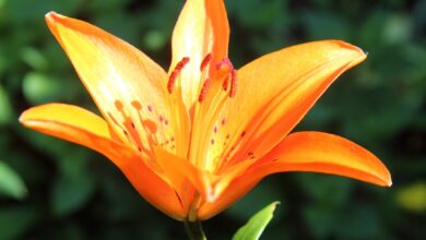 Photo of Lilium bulbiferum Lys arancione