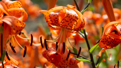 Photo of Lilium lancifolium Giglio tigrato
