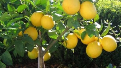 Photo of Limone spinoso