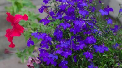 Photo of Lobelia, fiore cardinale