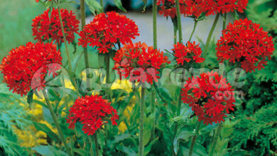 Photo of Lychnis chalcedonica Cruz de Jerusalén, Cruz de Malta