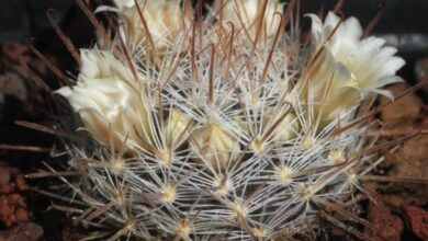 Photo of Mammillaria allungata, Mammillaria d'oro