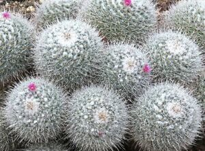 Photo of Mammillaria geminispina Mammilaria